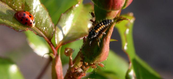 Blattläuse bekämpfen