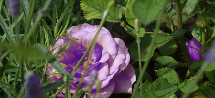 Lila Rosen für den Garten