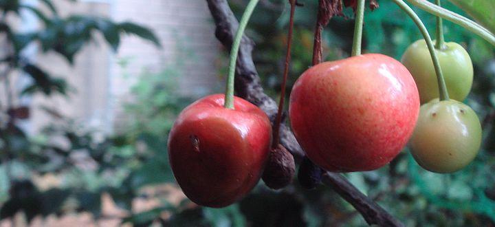 Kirschessigfliege im Hausgarten